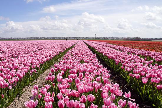 DSC01592-web-(Tulpenvelden-kop-Noordholland)