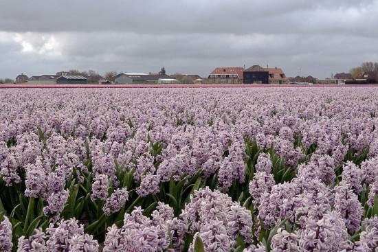 DSC02347-web-(Hyacinth-bloembollen-kop-NH)