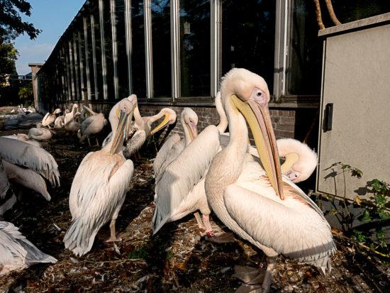 _dsc0201-artis-2016-pelikanen